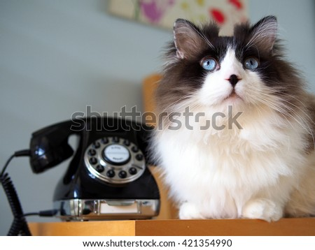 Portrait of Adorable Long Haired Bi-Color Brown White Blue Eyed Ragdoll Cat laying with Vintage Black Rotary Phone on Wooden Side Table - stock photo