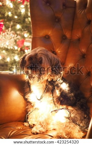 Portrait of Adorable Lovable Yorkshire Terrier Dog Wrapped in Christmas Holiday Lights Sitting on Leather Chair with Antlers  - stock photo
