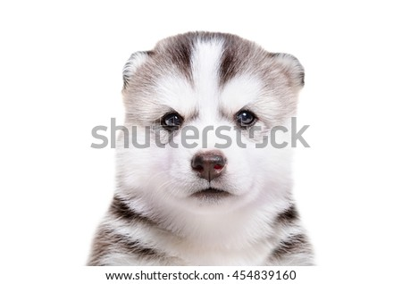 Portrait of  adorable puppy breed Husky isolated on white background - stock photo