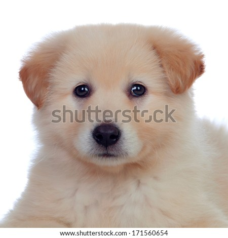 Portrait of adorable puppy dog �¢??�¢??with smooth hair isolated on white background - stock photo