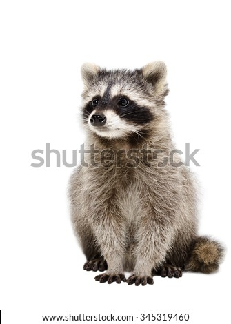 Portrait of adorable raccoon isolated on white background - stock photo