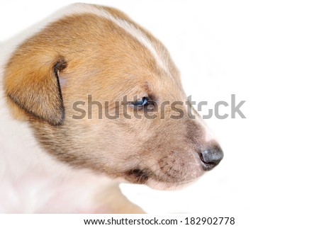 Portrait of adorable Smooth Collie puppy isolated on white - stock photo