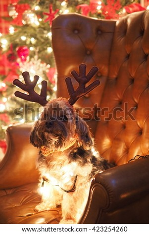 Portrait of Adorable Yorkshire Terrier Dog Wrapped in Christmas Holiday Lights Sitting on Leather Chair with Antlers Posing for Camera - stock photo