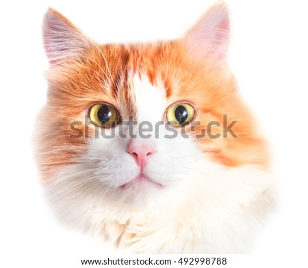 Portrait of adult red cat isolated over white
