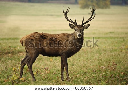 Portrait of adult red deer stag in Autumn Fall forest - stock photo