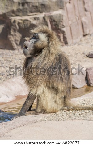 Portrait of african baboon in the open resort, Magdeburg, Germany, 2016