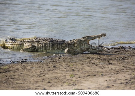 Portrait of african crocodile near river shore