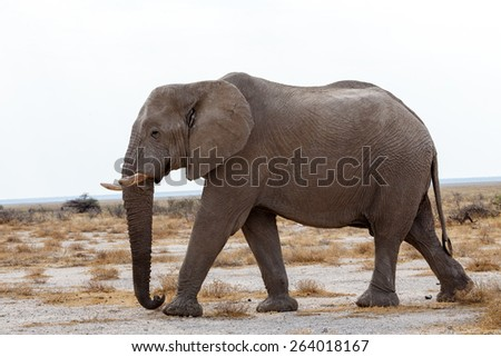 Portrait of african elephants, Etosha national Park, Ombika, Kunene, Namibia. True wildlife photography