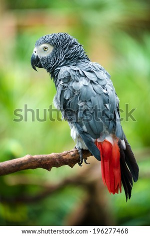 Portrait of African Gray Parrot  - stock photo