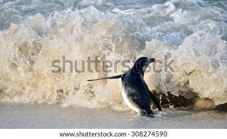 Portrait of African penguin (spheniscus demersus), also known as the jackass penguin and black-footed penguin is a species of penguin Boulders colony in Cape Town, South Africa.   - stock photo