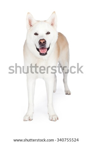 Portrait of Akita dog standing against white background - stock photo