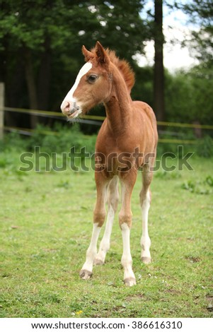 Portrait of amazing chestnut foal standing on pasturage - stock photo