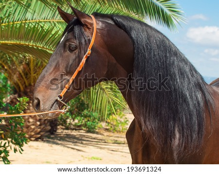 portrait of amazing purebred Andalusian bay stallion, sunny day. Spain - stock photo