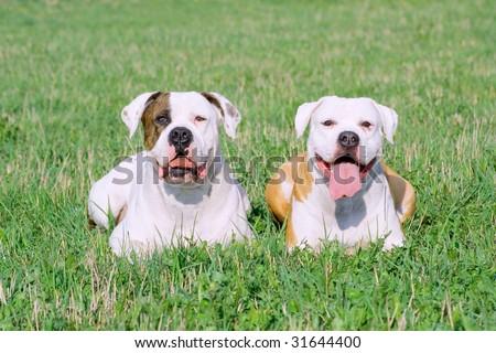 Portrait of American bulldogs on the green grass - stock photo