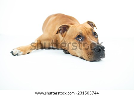 Portrait of American Pit Bull Terrier, Beautiful dog sitting down isolated over a white background.