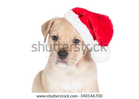Portrait of american staffordshire terrier puppy dressed in a christmas hat - stock photo