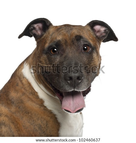 Portrait of American Staffordshire Terrier, 10 years old, in front of white background