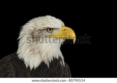 Portrait of American symbol bald eagle isolated on black - stock photo