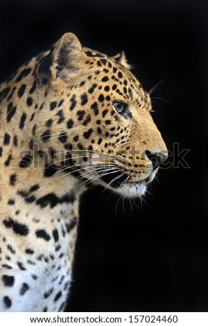 Portrait of Amur Leopard summer - stock photo