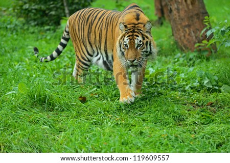 Portrait of Amur Tiger