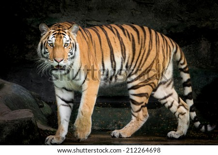 Portrait of Amur Tigers - stock photo