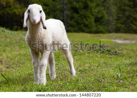 Portrait of an adorable, beautiful lamb standing in a green alpine meadow. The baby sheep is looking directly at the viewer (camera). The young, baby sheep has soft white fur. - stock photo