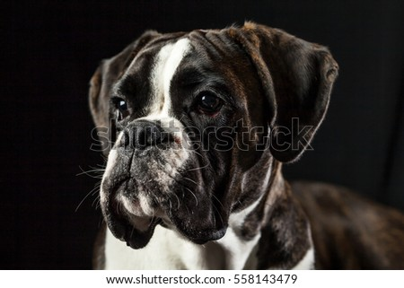 Most Inspiring Boxer Black Adorable Dog - stock-photo-portrait-of-an-adorable-boxer-dog-studio-shot-isolated-on-black-background-looking-to-the-side-558143479  Snapshot_242191  .jpg