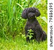 Portrait of an adorable miniature poodle with his summer haircut posing by the garden in the summer with copy space. - stock photo