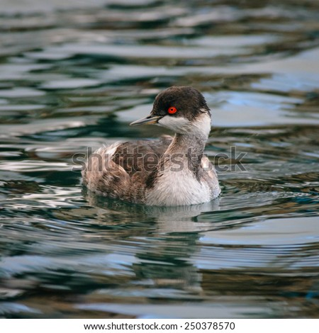 Portrait of an adult black-necked grebe (Podiceps nigricollis) in winter plumage, Lesbos, Greece - stock photo