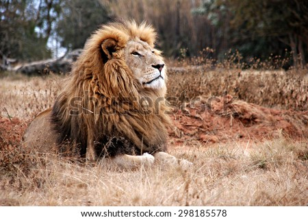 Portrait of an adult  lion resting - stock photo