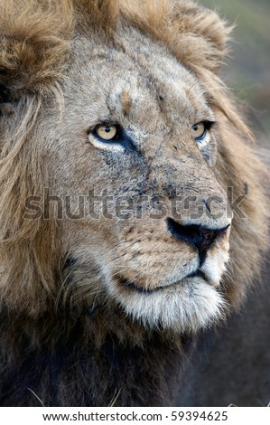 Portrait of an adult lion. Zambia. Africa.