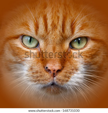 Portrait of an adult red color cats. - stock photo