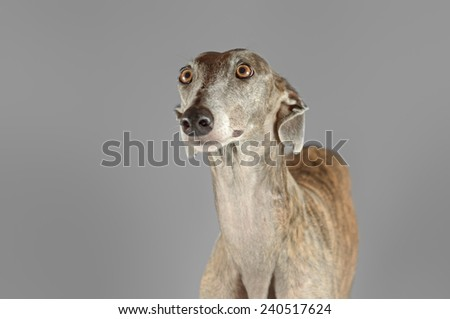 Portrait of an adult Spanish Greyhound dog