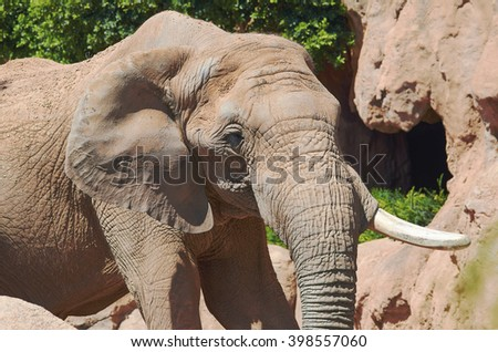 Portrait of an African elephant close up.