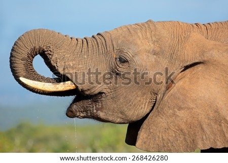 Portrait of an African elephant (Loxodonta africana) drinking water, Addo Elephant National park, South Africa - stock photo