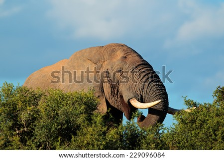 Portrait of an African elephant (Loxodonta africana) feeding, Addo Elephant National park, South Africa - stock photo