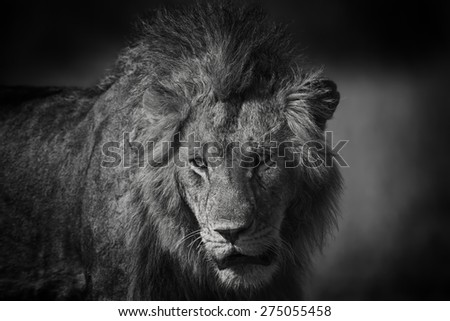 Portrait of an African Lion in Masai Mara, Kenya - stock photo