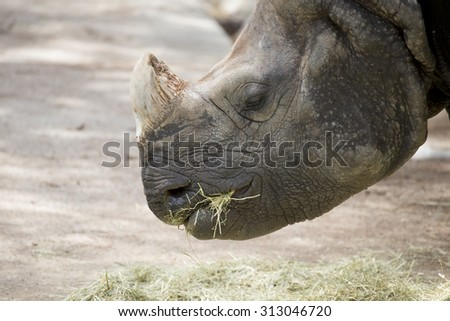 portrait of an african rhino eating