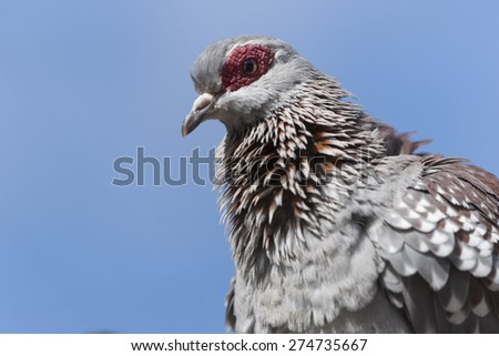 Portrait of an African Rock Dove