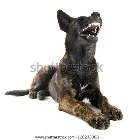 portrait of an aggressive holland shepherd in a studio - stock photo
