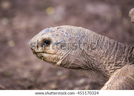Portrait of an Aldabra giant tortoise (Aldabrachelys gigantea), photographed in captivity in Mauritius at the Seven coloured earths of Chamarel.