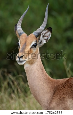 Portrait of an alert young impala antelope in Africa - stock photo