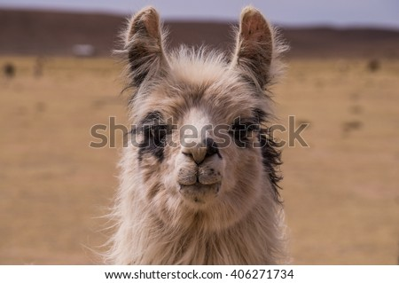 Portrait of an alpaca. A cloe up to a lama. Lamas and alpacas are very popular in Bolivia and Peru for their wool and meat - stock photo