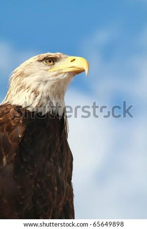 Portrait of an American Bald Eagle (Haliaeetus leucocephalus) - stock photo