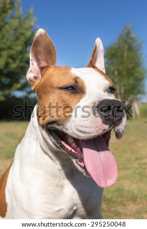 Portrait of an american staffordshire terrier - stock photo