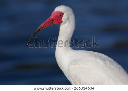 Portrait of an American White Ibis (Eudocimus albus) near Clearwater Florida
