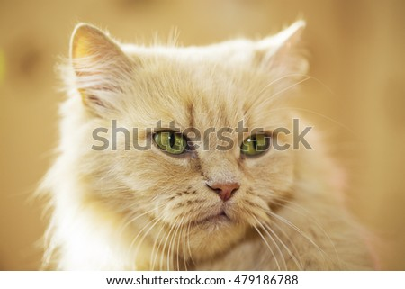 portrait of an angry red cat close-up