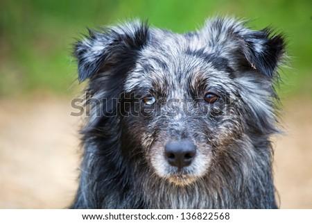 portrait of an Australian Shepherd Dog - stock photo