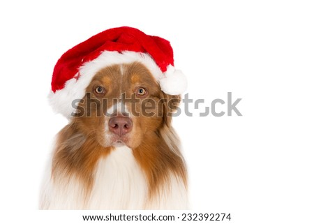 Portrait of an Australian Shepherd wearing a Santa hat, looking in the camera, isolated on white
