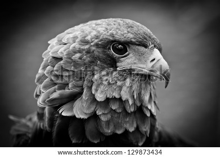 portrait of an Bateleur Eagle { - stock photo